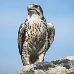 SciFest: Exploring Falconry: A Hands-on Experience