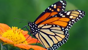 SciFest: Monarch Butterflies