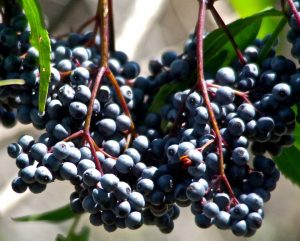 Medicinal Plant Walk + Making Elderberry Elixir