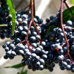 *FULL - Waitlist Only* Adult Workshop: Medicinal Plant Walk & DIY Elderberry Elixir