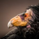 Photogenic California Condors