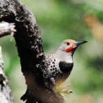 How Gilded and Red-shafted Flickers Respond to their Own Voice