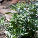 Learn About Sage and Artemisia