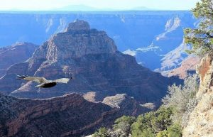 Raptors of the Deep: Hawks and Owls of Grand Canyon
