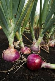 Science Café - ONE SMALL STEP FOR RED ONIONS