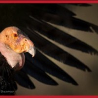 The Plight of the Condor:  Photographs by John Sherman