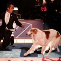 AKC All Breed dog shows